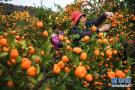 江西南丰采摘蜜橘