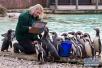伦敦动物园举行年度盘点 小企鹅萌萌哒