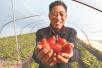 孟津县小浪底镇明达村:草莓园里已硕果累累