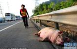"""河北:高速上一运猪车出事故 交警客串""""猪倌""""捉猪"""
