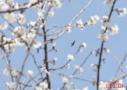 这才是北京最大樱花园