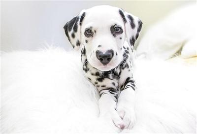 心形鼻子斑点狗