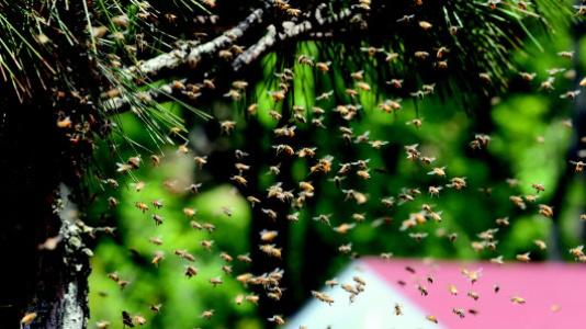 养蜂人老李连续21年来青岛采蜜