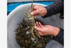太湖明年停止围网养殖 明年9月或能吃上更近似野生的太湖蟹