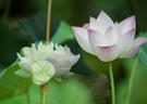 荷花莲花有啥区别