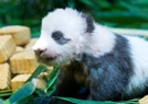 熊猫宝宝与游客见面