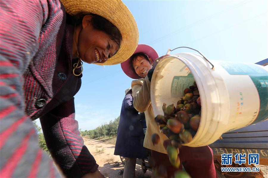 10月30日,在江西省抚州市东乡区瑶圩乡文溪村的千亩生态油茶种植基地,农民在装运收获的油茶果。  新华社发(何江华 摄)