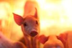农业农村部:北京房山区查出非洲猪瘟疫情 共死亡86头生猪