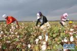 棉花正处于苗期 河北省发布病虫情报