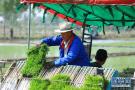 唐山:曹妃甸农场水稻插秧忙