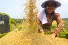 河南光山:庆双节 珍珠稻喜获丰收