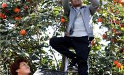 河南杞县:小柿子成就大产业