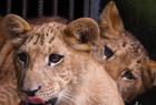 海南成功繁育狮兽
