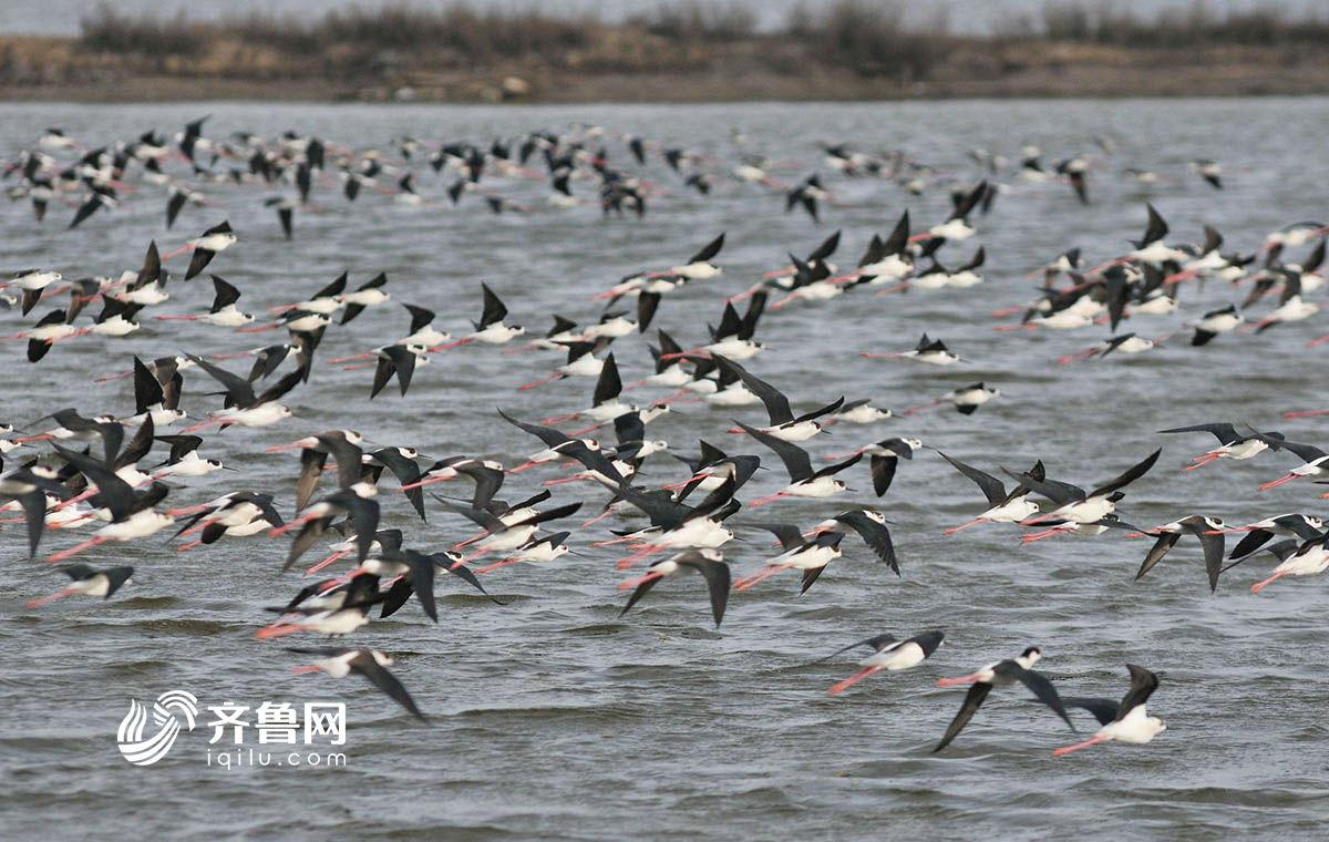 青岛大批候鸟翩跹湿地