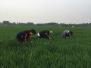 (图)开展小麦穗期病虫害普查 为夏粮丰收保驾护航