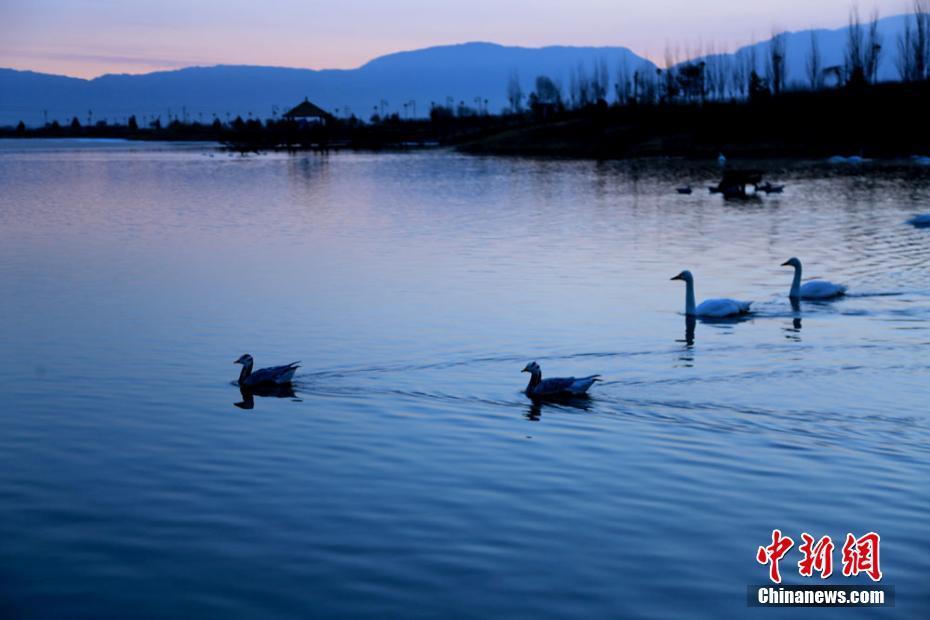 斑头雁湖水中游弋