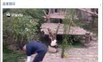 """大熊猫""""奇一""""火到国外 不爱竹子爱抱大腿"""
