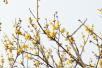 河南许昌:腊梅绽放 暗香浮动迎新春