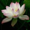佛教为何选莲花当做圣物?