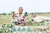 河南汤阴县艾草飘香带动产业扶贫 种植面积达10000亩
