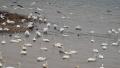 三门峡黄河湿地:天鹅冬日栖息的家