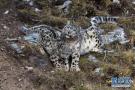 全球雪豹自然体验点