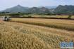山东小麦处于越冬期 大部分农田土壤墒情适宜