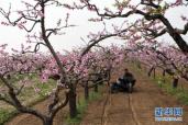 小小桃树挖出长长产业链 平度桃痴带领乡亲共同致富