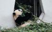 中国将建大熊猫国家公园 规模是美国黄石公园三倍