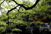 杭州的每棵树都有它的故事