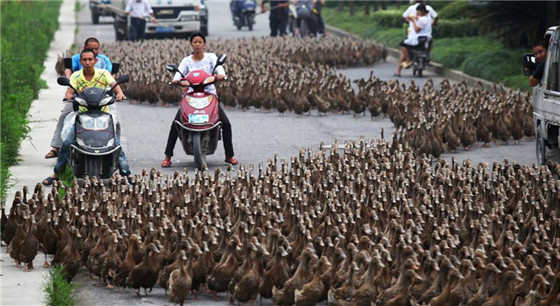 井然有序 数千只鸭子排队过马路