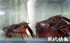 """南京小龙虾上市啦!颜值不错,想吃""""大个头""""得再等等"""
