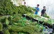 蔬菜价格季节性下降 蒜苗价格降了一半多