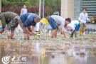 青島啟動海水稻田間選育 擴繁收集的耐鹽鹼水稻種子量