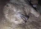 狮虎惨遭偷猎者投毒