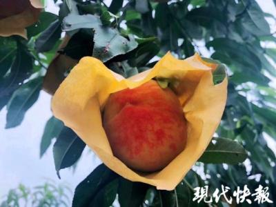 无锡阳山早熟桃大批量上市了,今年格外甜!
