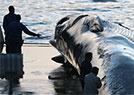 长须鲸遭残忍屠杀