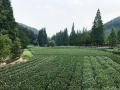 第五届中华茶奥会12月举行 永久会址落户龙坞茶镇