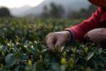西湖龙井今日开卖,淘宝商家三大忙:茶农、茶工、主播齐上阵