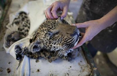 揭秘非洲血腥动物标本加工-中国搜索财经
