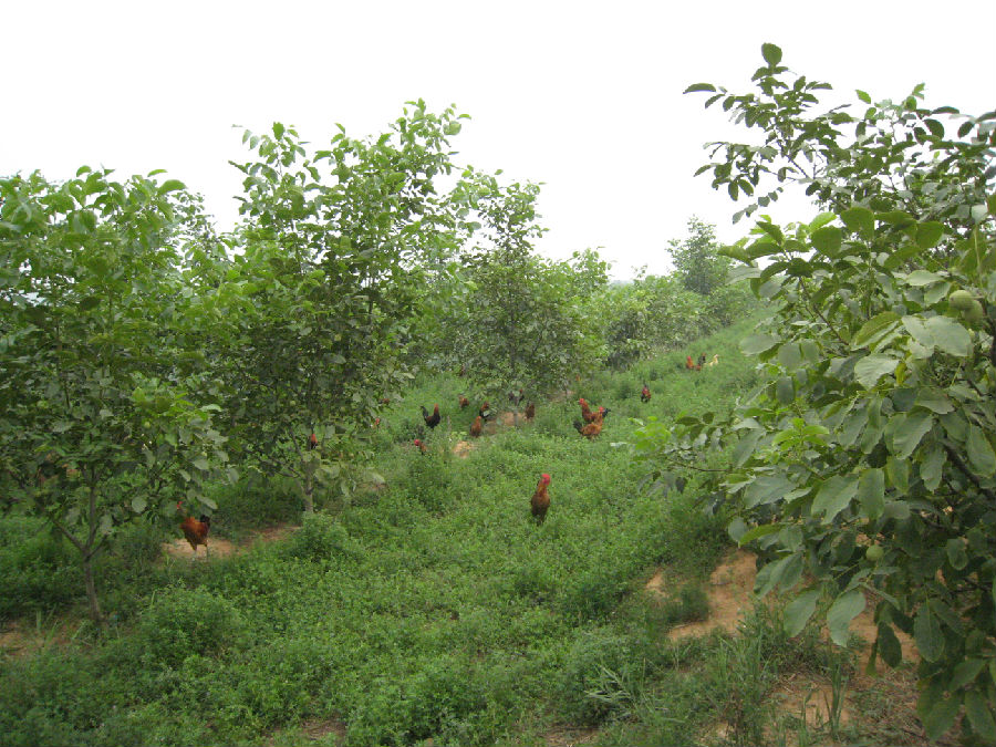 承包荒山栽培核桃树