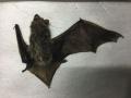 大连自然博物馆:夜晚神秘动物 会飞的福兽——蝙蝠