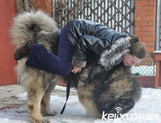 """世界上最大的狗:高加索犬被赞为""""犬中之王""""-中国搜索"""