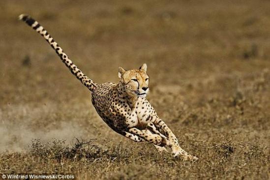是世界上奔跑速度最快的陆地动物