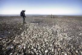 满海滩的生蚝让丹麦犯愁