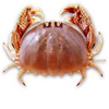 最害羞螃蟹