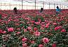"""情人节的玫瑰花别样""""红""""批发价格翻了七倍"""