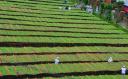 中国白茶之乡