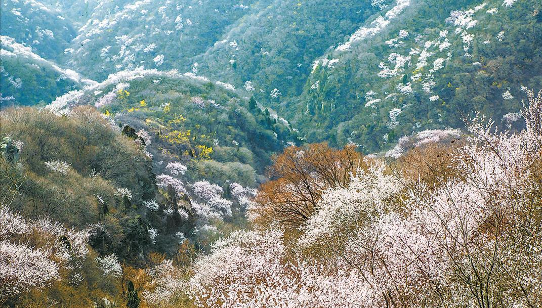 3月29日,记者在沁阳市的太行山区看到,当地的野桃花开了,漫山遍野,蔚为壮观。这里的太行山为国家级自然保护区,森林茂密,野生动植物种类繁多,森林覆盖率达75%,是综合性森林生态科研教育基地,也是我省生物多样性分布中心之一。(记者 王天定)