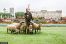 皇家公园竟成羊牧场